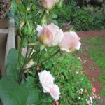Ophelia_Roses_outside_studio_door